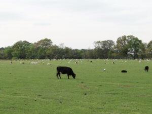 white-oak-cows